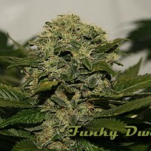 Funky Dwarf LTD