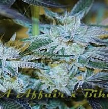 LA Affair x Biker Kush LTD