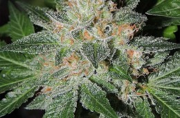 White Beelze Bubba LTD